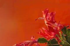 Fleur rouge de cactus de Noël Photo stock