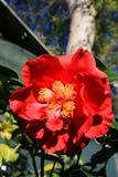Fleur rouge de camélia Photographie stock libre de droits
