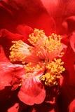 Fleur rouge de camélia images libres de droits