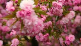 Fleur rouge de cerisier, foyer de support de détail clips vidéos