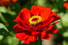 Fleur rouge de champ avec une abeille Photographie stock
