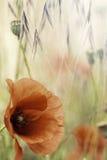 Fleur rouge de champ d'été de pavot Photos stock