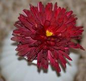 Fleur rouge de chrysanthème centrée par coeur photo stock