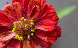 Fleur rouge de chrysanthème dans le jardin Photographie stock