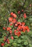 Fleur rouge de coing dans un jardin Photos libres de droits