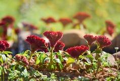 Fleur rouge de crête image stock