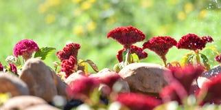 Fleur rouge de crête photographie stock