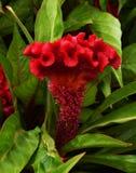 Fleur rouge de crête Photo stock
