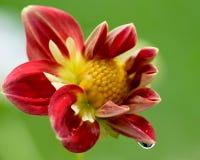 Fleur rouge de dahlia image libre de droits
