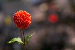 Fleur rouge de dahlia Image stock