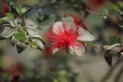 Fleur rouge de feuille Photos libres de droits