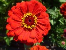 Fleur rouge de floraison photos libres de droits