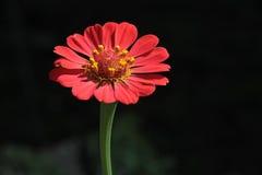 Fleur rouge de floraison Image stock