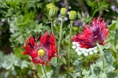Fleur rouge de floraison de pavot images stock