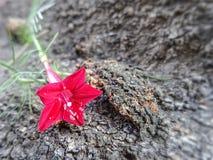 Fleur rouge de floraison de vigne de Cypress sur le fond approximatif de texture d'écorce d'arbre dans le jardin photo stock