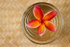 Fleur rouge de frangipani images libres de droits