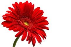 Fleur rouge de gerber Photographie stock libre de droits