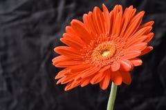 Fleur rouge de gerber Photos stock