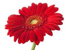 Fleur rouge de gerber Photographie stock