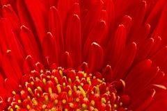 Fleur rouge de Gerbera Photographie stock