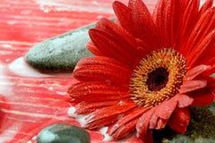 Fleur rouge de gerbera Photographie stock libre de droits
