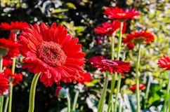 Fleur rouge de gerbera Image stock