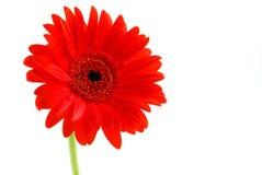 Fleur rouge de gerbera Images libres de droits