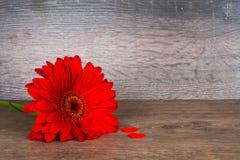 Fleur rouge de gerbera avec deux coeurs rouges Photos libres de droits