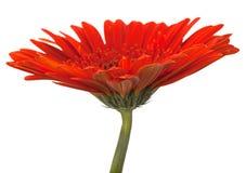 Fleur rouge de gerbera sur le blanc Photos libres de droits