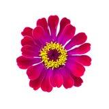 Fleur rouge de gerbera sur le fond d'isolement Images stock