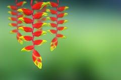 Fleur rouge de heloconia Image libre de droits
