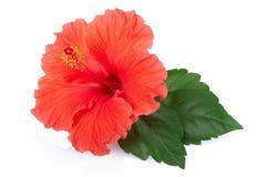 Fleur rouge de ketmie Image libre de droits