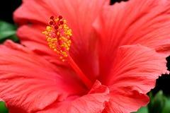 Fleur rouge de ketmie Photographie stock libre de droits