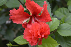 Fleur rouge de ketmie Image stock