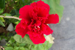 Fleur rouge de ketmie Photos libres de droits