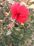 Fleur rouge de ketmie Photo libre de droits