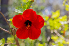 Fleur rouge de ketmie Photo stock