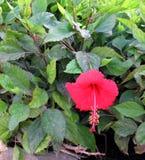 Fleur rouge de ketmie au-dessus de fond brouillé par vert Photos libres de droits