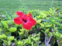 Fleur rouge de ketmie au-dessus de fond brouillé par vert Image libre de droits