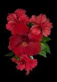 Fleur rouge de ketmie avec des feuilles Photos libres de droits