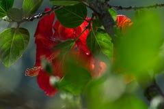 Fleur rouge de ketmie chinoise images libres de droits