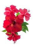 Fleur rouge de ketmie d'isolement sur le blanc Image stock