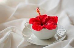 Fleur rouge de ketmie dans une tasse blanche Images libres de droits