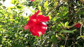 Fleur rouge de ketmie en parc banque de vidéos