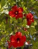 Fleur rouge de ketmie Fleurs exotiques en Afrique Images libres de droits