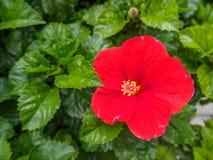Fleur rouge de ketmie sur un fond vert À garde tropical Photo libre de droits