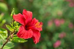 Fleur rouge de ketmie sur un fond vert Photos libres de droits