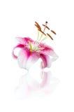 Fleur rouge de lis d'isolement sur le blanc Image libre de droits
