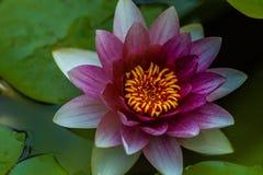 Fleur rouge de nymphaea ou de nénuphar avec le noyau jaune, le macro tir et les feuilles vertes dans l'eau de l'étang de jardin photographie stock libre de droits