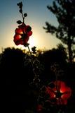Fleur rouge de pavot Photographie stock